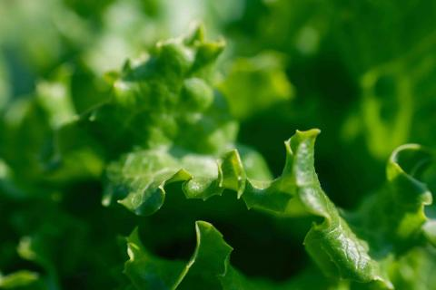 Source of Romaine Lettuce Food Poisoning Outbreak Still Unknown